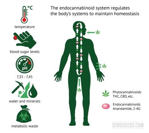 endocannabinoid-homeostasis-greenherb
